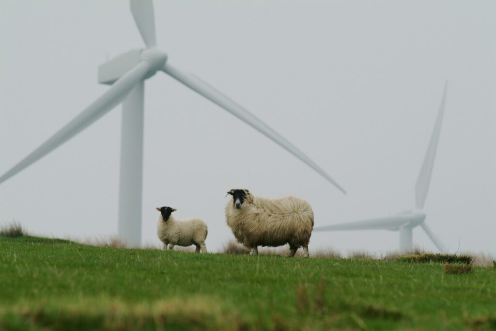 Two sheep stand looking at the camera with wind turbines in the background.